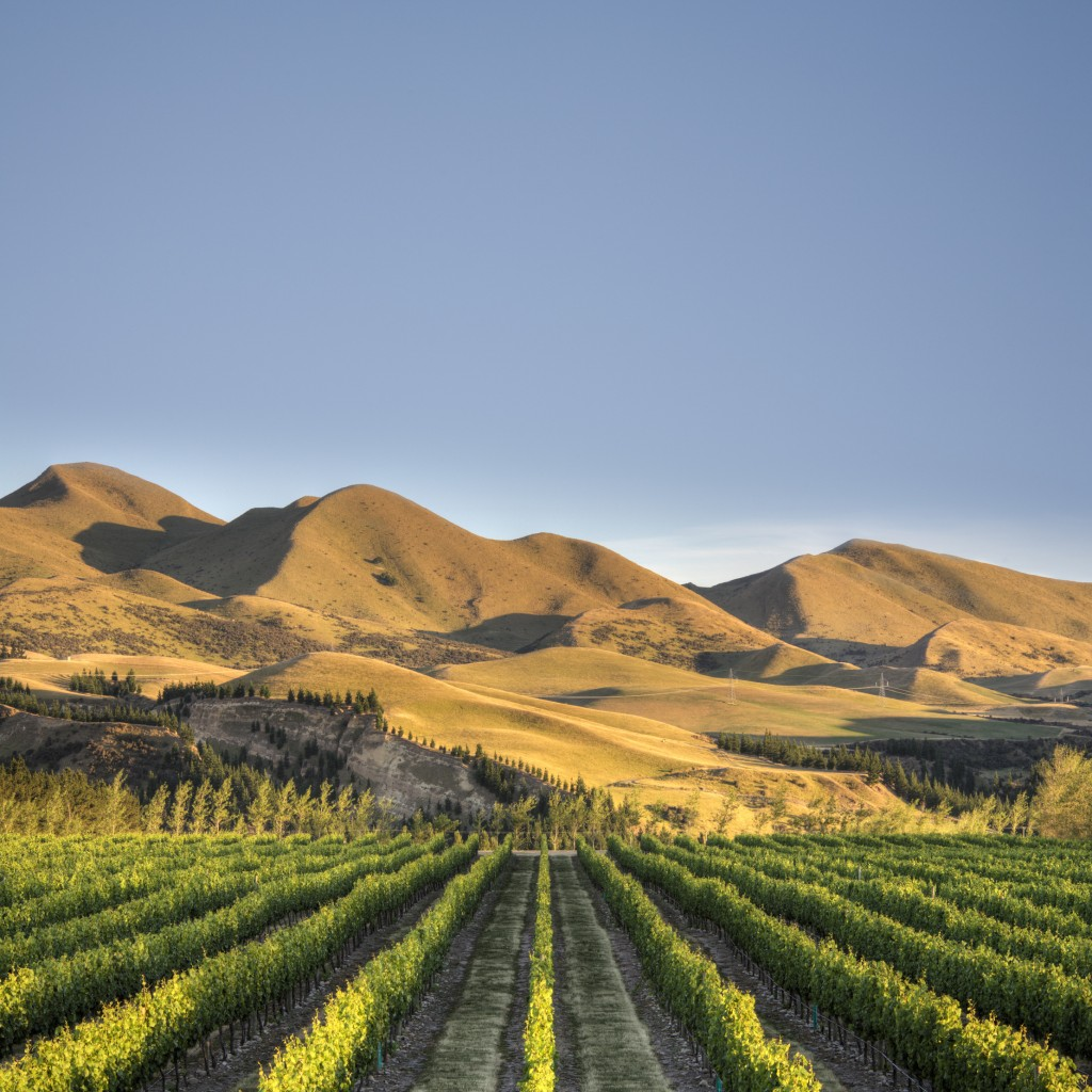 Vineyard in Canterbury, New Zealand